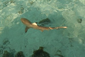 The black tipped shark off our deck