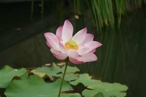 Kamalaya Thailand lotus