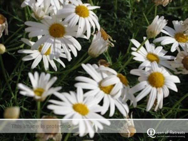 Autumn flowers, daisy