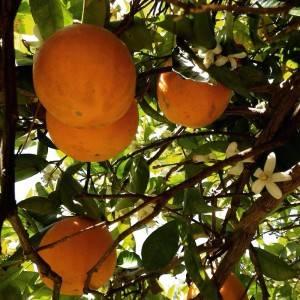 Moinhos Velhos Portugal oranges