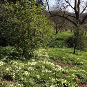sharpham house primroses