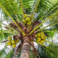 jiva healing goa palm